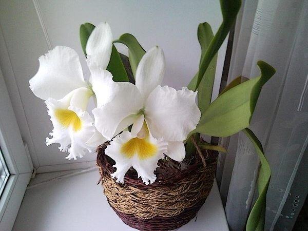 орхидея Каттлея