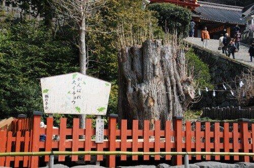 Останки гинкго в Цуругаока Хатиман-гу.
