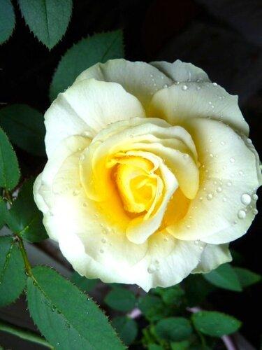 Белая комнатная роза