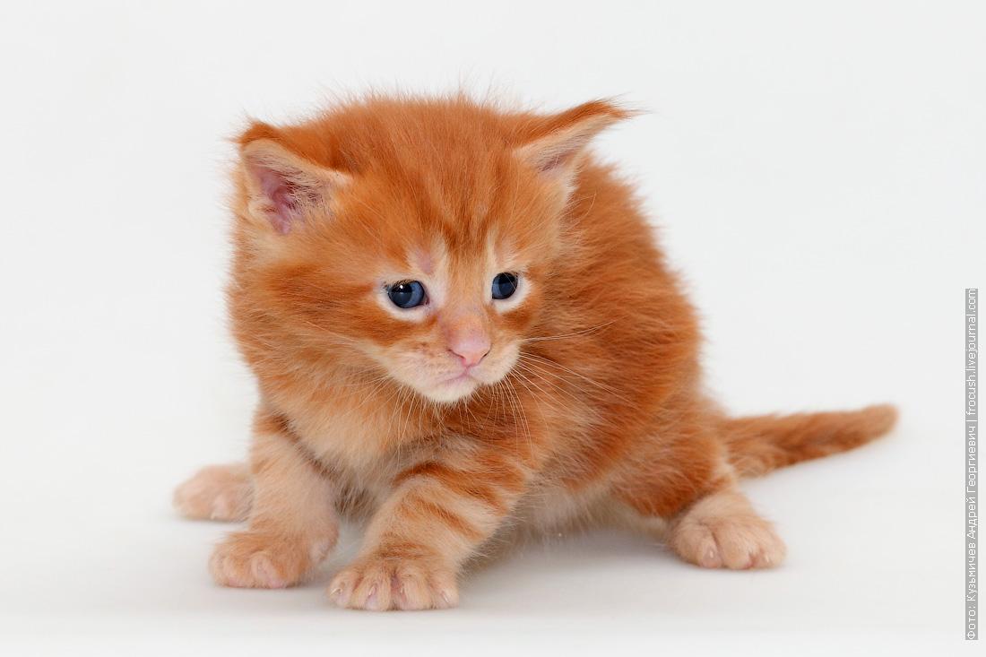 фото котенок Мейн-кун красный