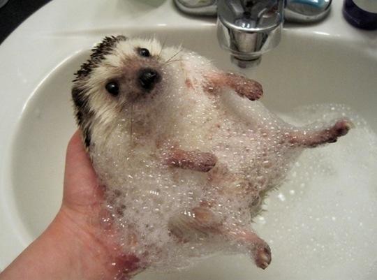 Как помыть ежика