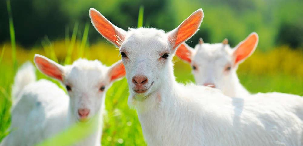 выбор козы