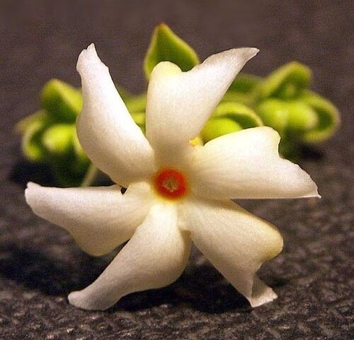 Индийский ароматный жасмин