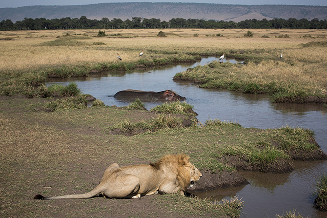 Лев пьет воду в саванне в Кении.
