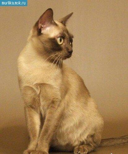 Фотографии Йоркская шоколадная порода кошек, Фото 9.
