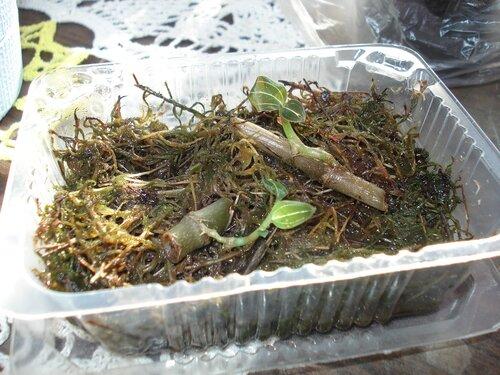Размножение орхидей в домашних условиях черенками