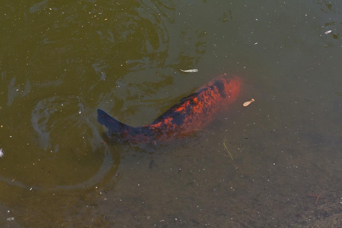 рыбки в пруду в городском парке