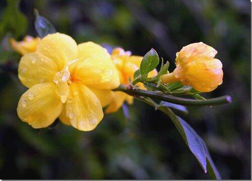 жасмин желтый