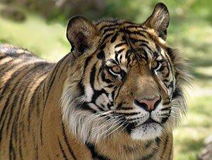 В Приморье из зоологического центра сбежала тигрица
