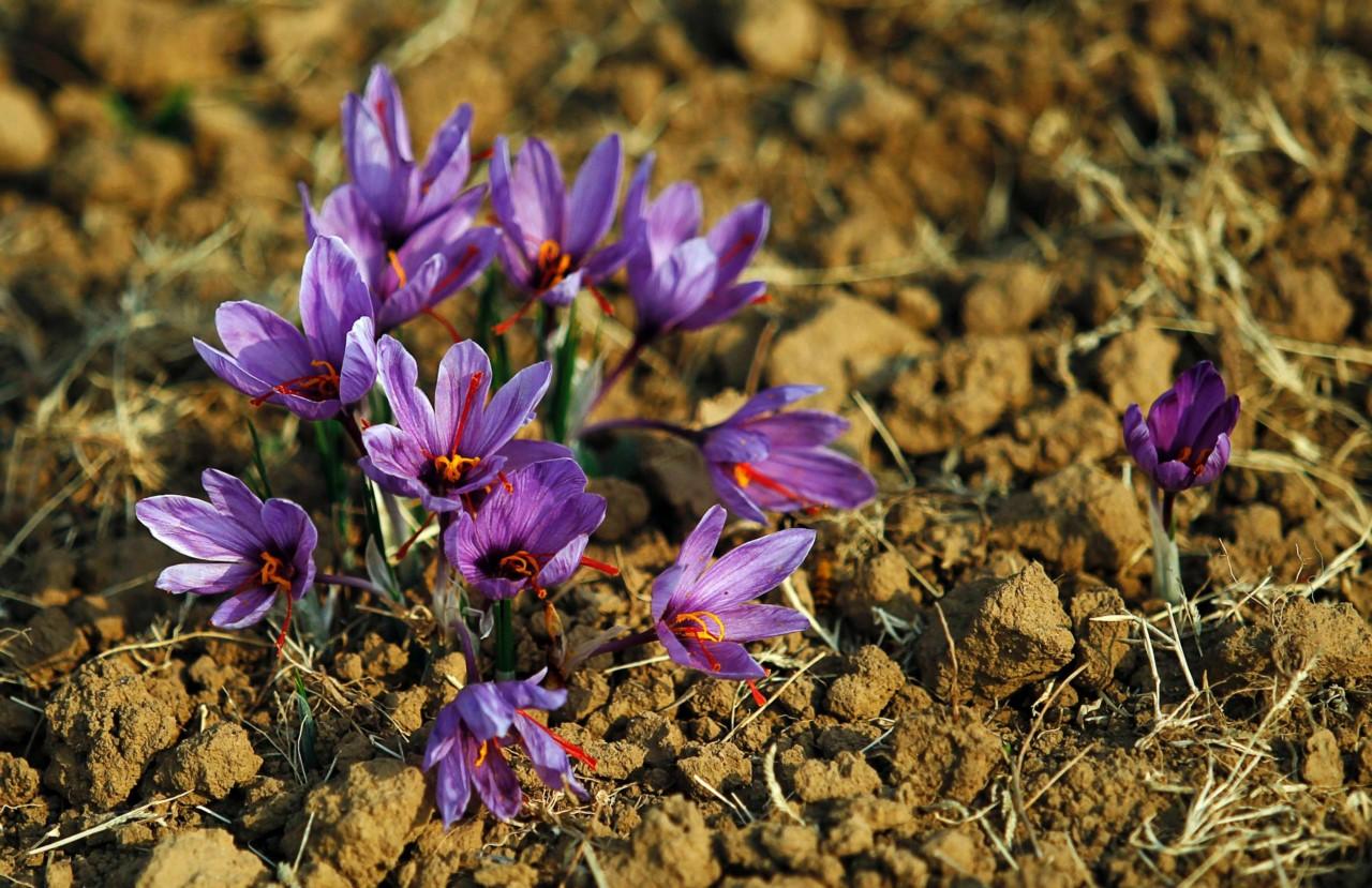 Георгины - выращивание из семян Образцовая Усадьба 77
