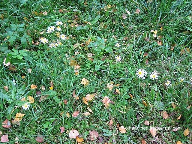 В Финляндии в октябре, бывает, что еще цветут ромашки