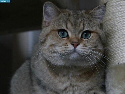 Фотографии Шиншилла порода кошек, Фото 17: http://www.murlika.msk.ru/photo/shinshilla/shinshillafoto17.php