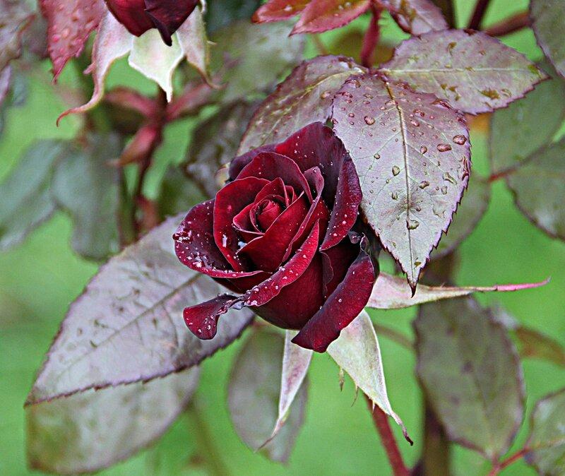 Картинки осенние розы, февраля корабли
