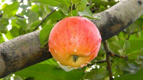 Яблочко на веточке .