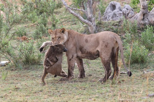 Львица оставила в живых детеныша бабуина