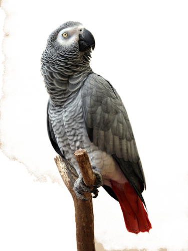 Grey parrot (2).png