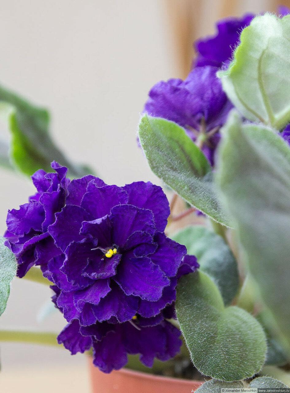 Фиалка цветы фото