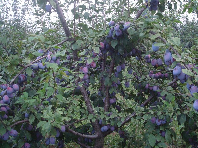 Осенние фрукты