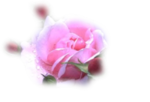 6_roos2Drose2D5_1(les spanisch rose).png