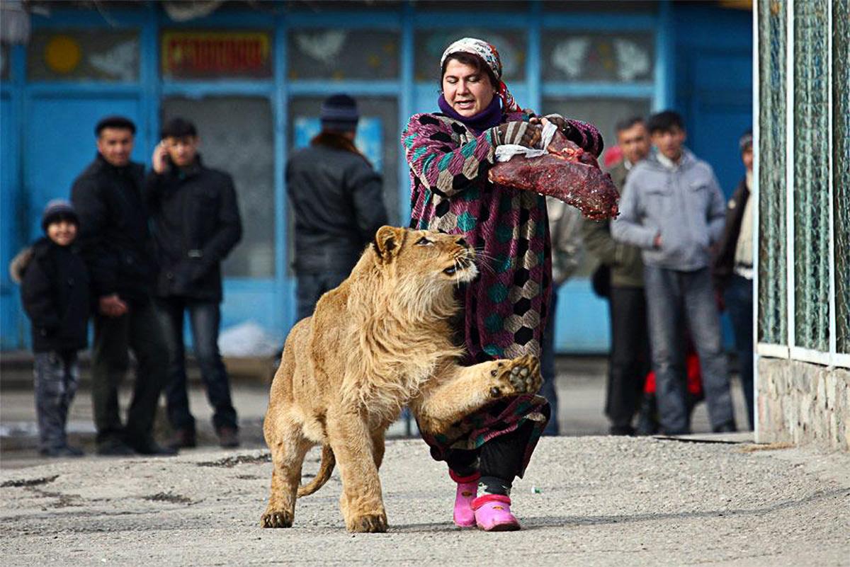 Зухро, работница городского зоопарка Душанбе (Таджикистан), гуляет с 18-месячным львом Вадиком. Фото  Нозим Каландаров(3)