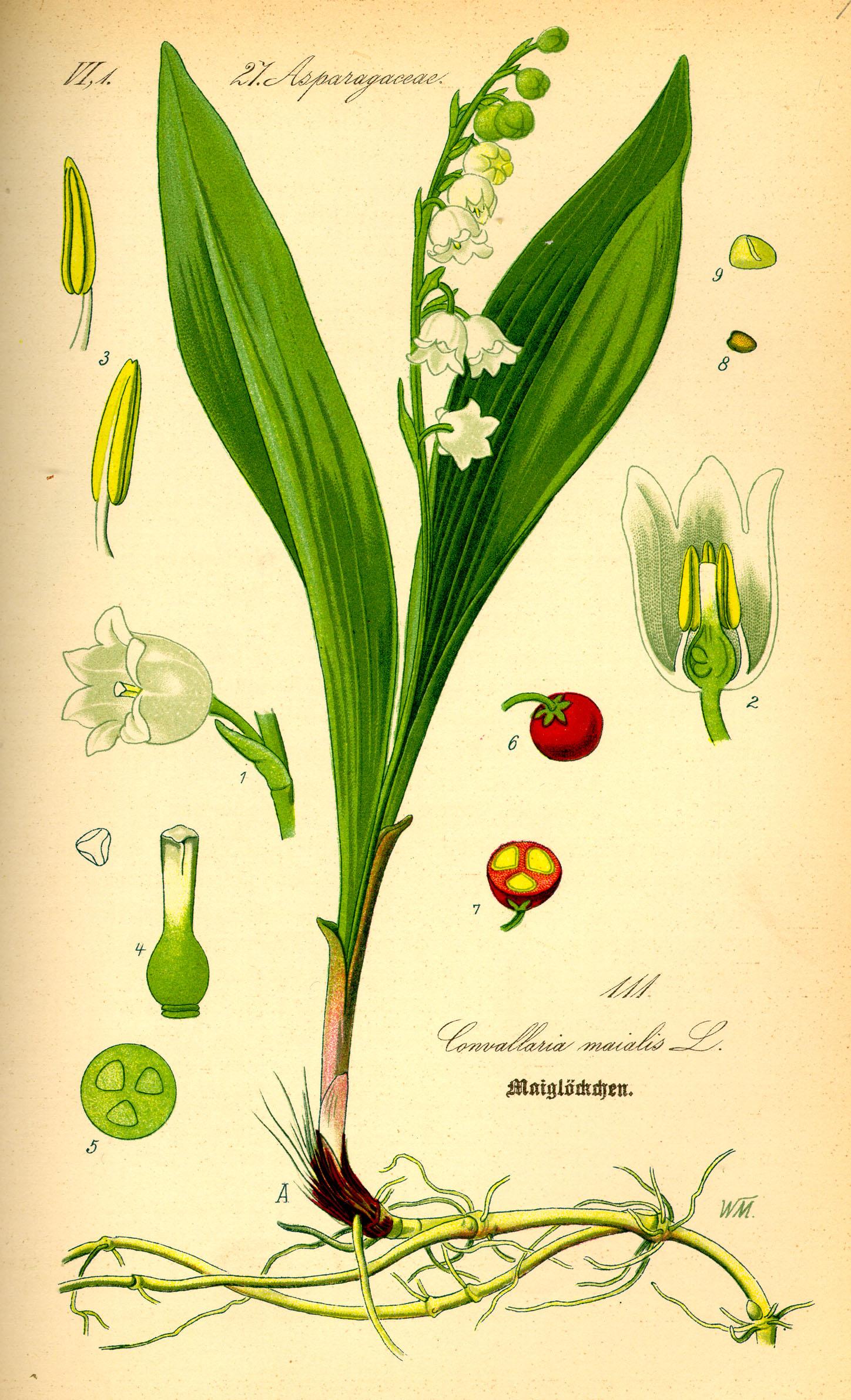 ландыш, Ландыш майский. Ботаническая иллюстрация из книги О. В. Томе «Flora von Deutschland, Österreich und der Schweiz», 1885