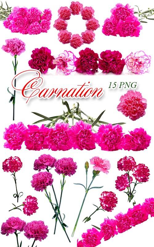 Гвоздики / Carnation