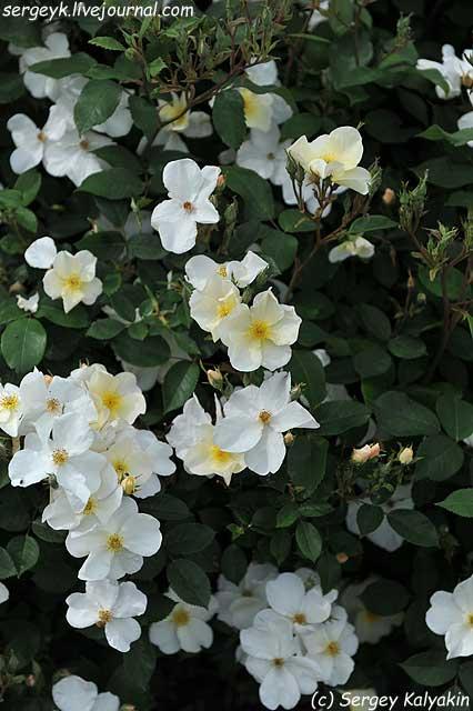Rosa Kew Gardens (49).JPG