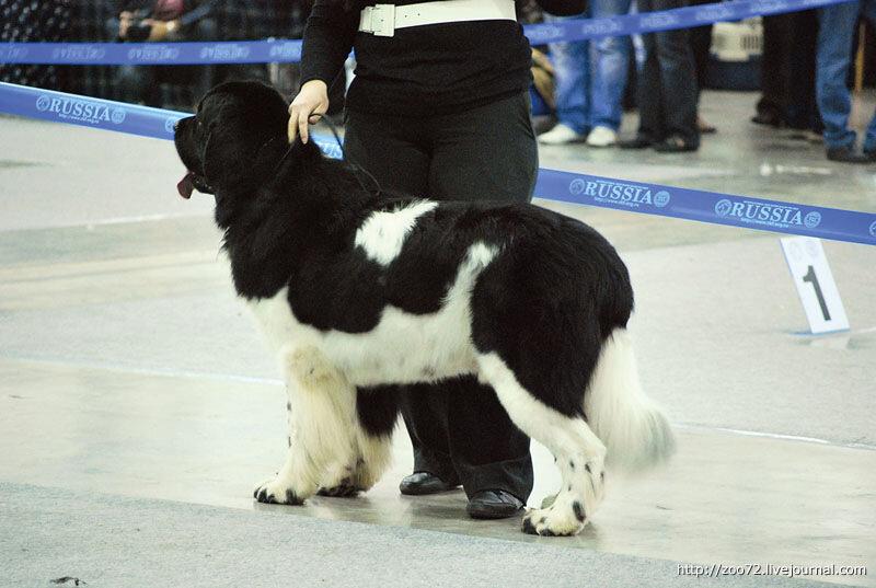 """Выставка собак """"Россия-2011"""". Фото"""