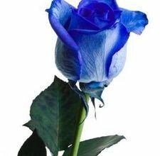 Как покрасить розы
