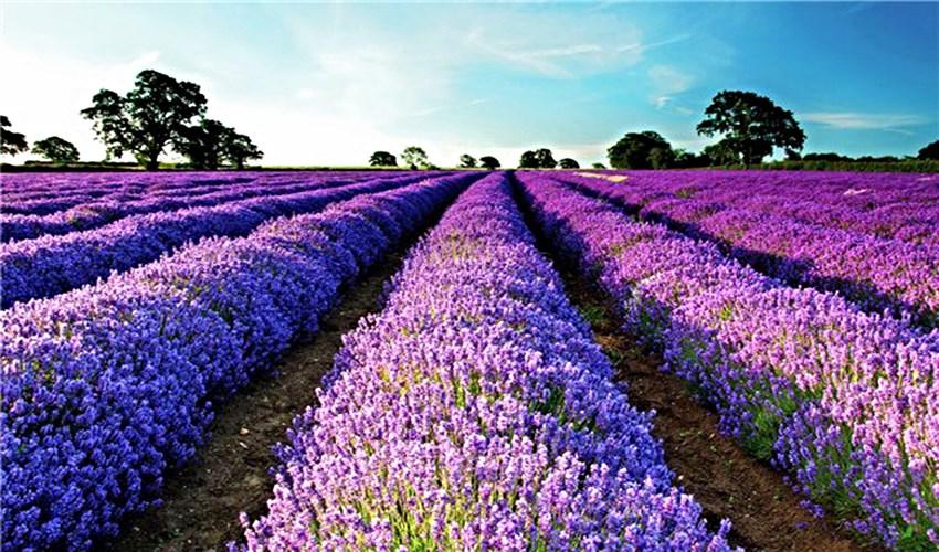 Purple landscapes of Provence_4