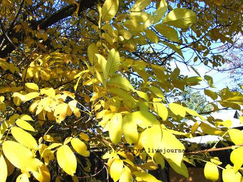 Листья ореха