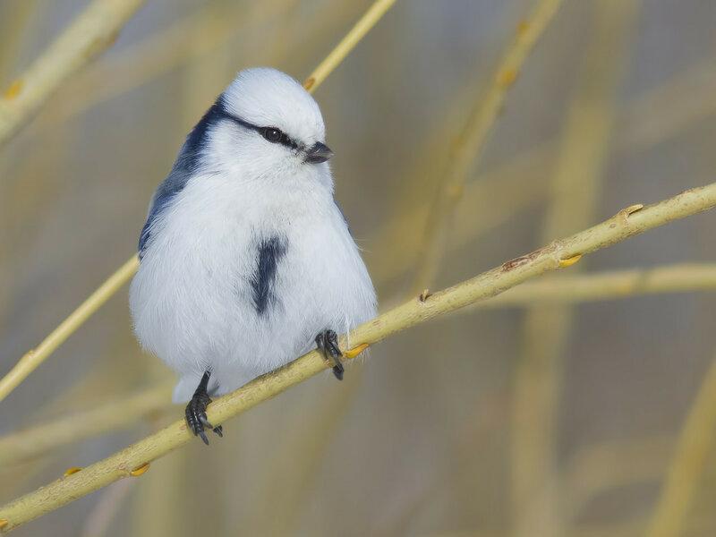 Белая лазоревка (Parus cyanus), или князек