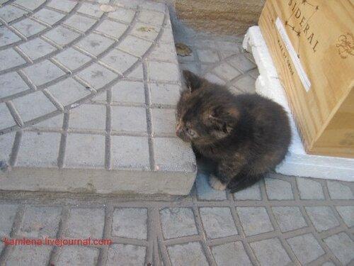 двухцветный котенок