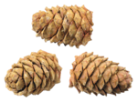 Christmas Elements 2_Pine Cones_Scrap and Tubes.png