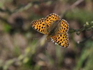 s:дневные бабочки,c:желтовато-коричневые,c:оранжевые,c:с черными пятнами,размах крыльев до 52 мм