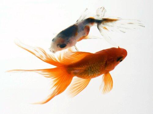 Обои Аквариумные рыбки, Красивые аквариумные рыбки с длинными плавниками в прозрачном аквариуме.