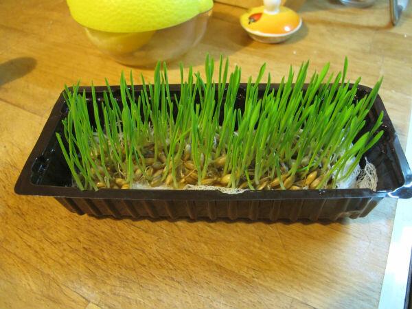 Овес для выращивания дома 9