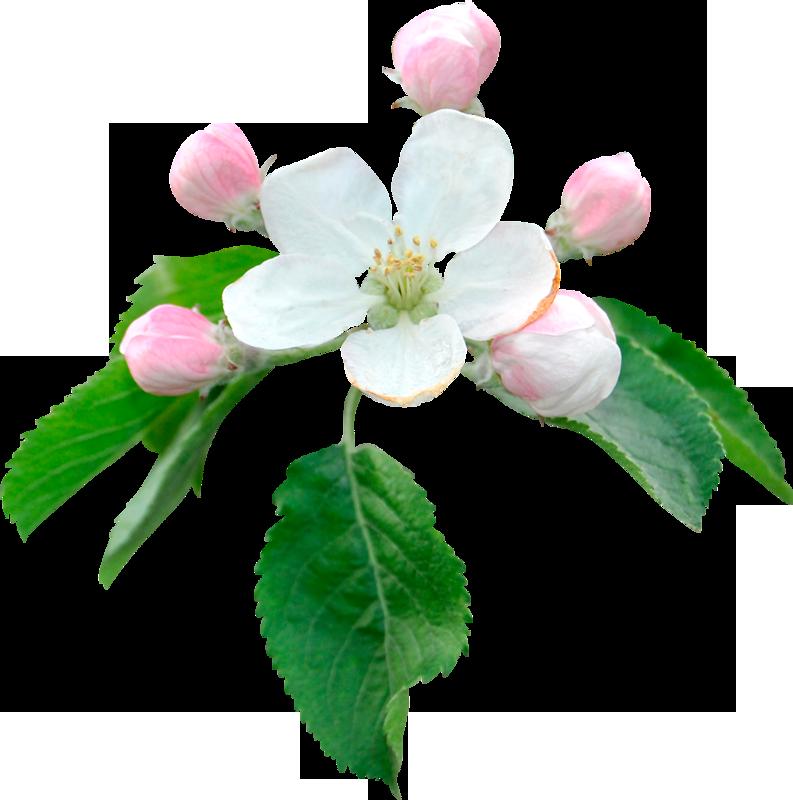 Картинки для детей цветущая яблоня