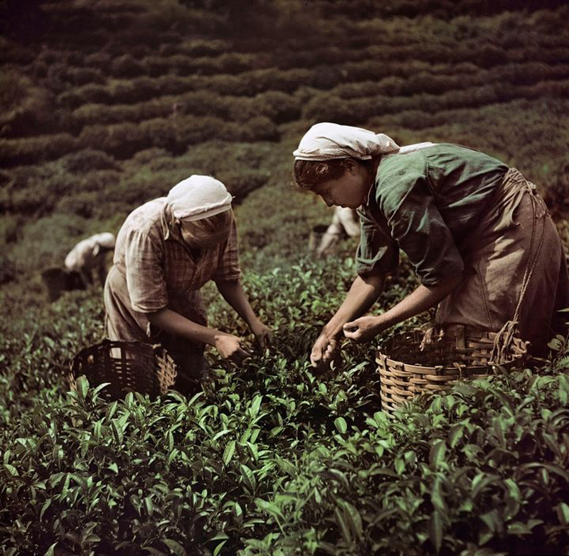 USSR. 1947. Workers picking tea leaves, near the Black Sea.jpg