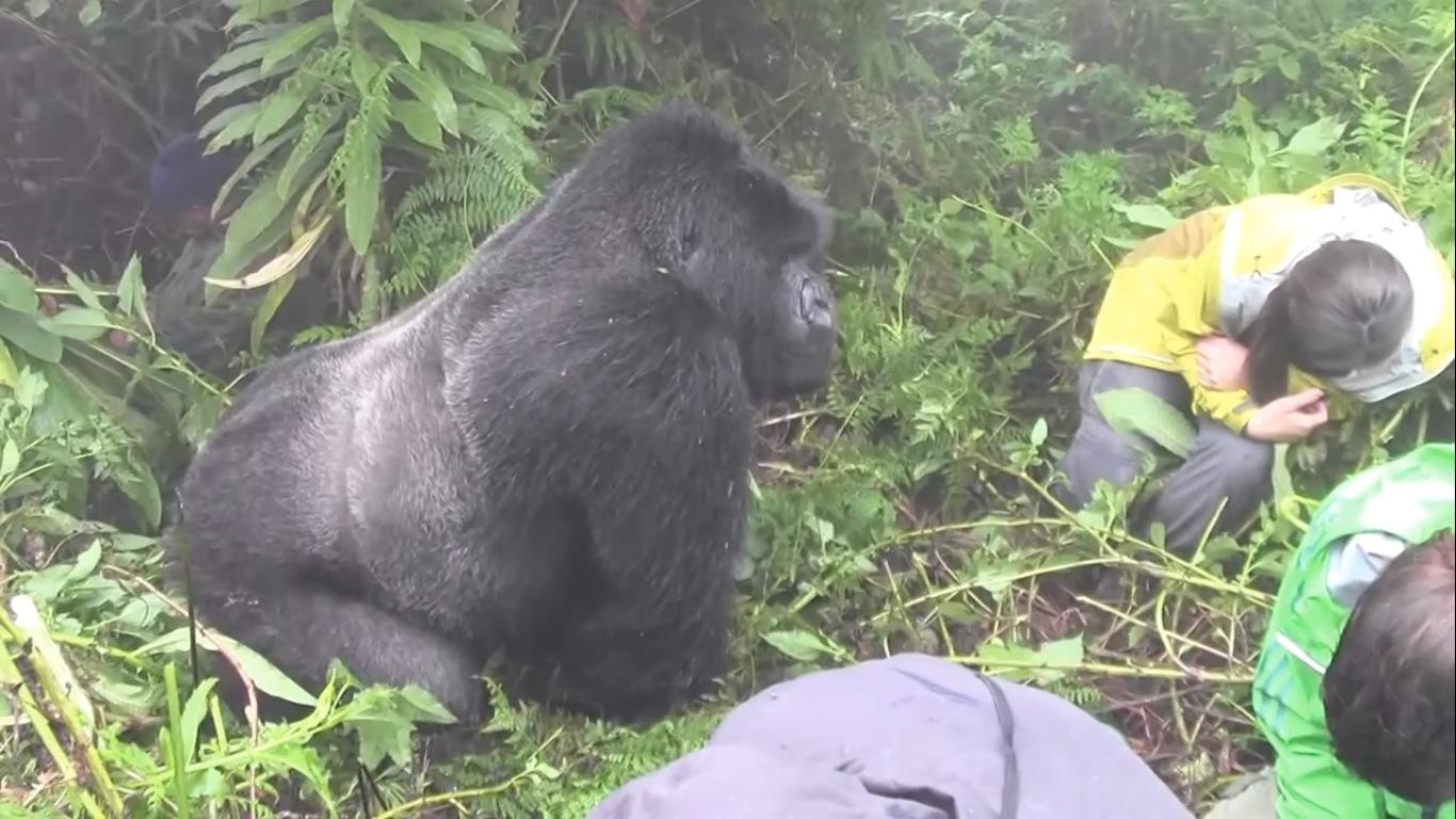 встреча горилла группа туристов