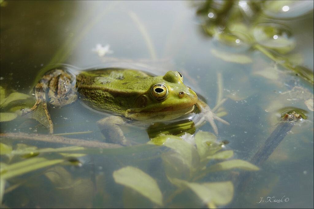 Про зеленую красавицу в пруду.