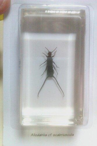 Насекомые №65 - Уховертка Эудорниа (Eudornia metallika)