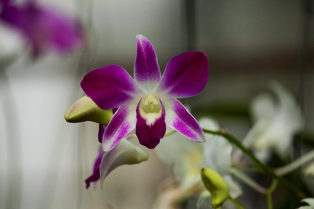 Орхидея-4