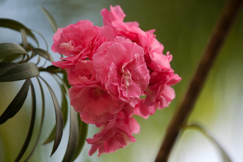 Розово-красный цветок