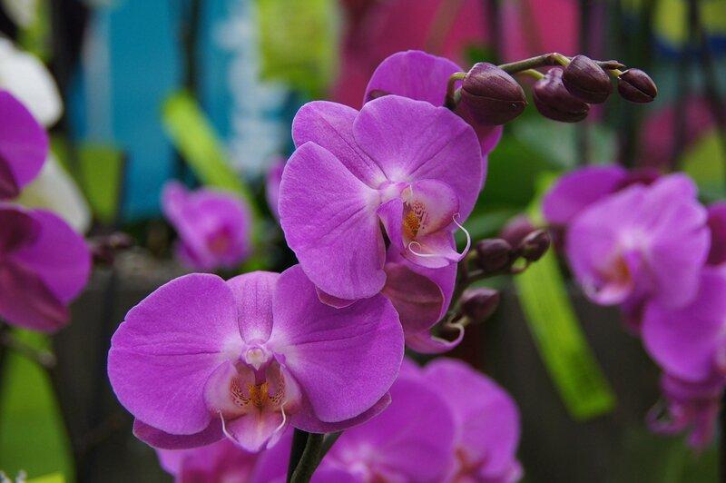 фото на конкурс Комнатные. орхидея.