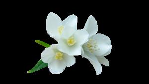Пнг цветы белые