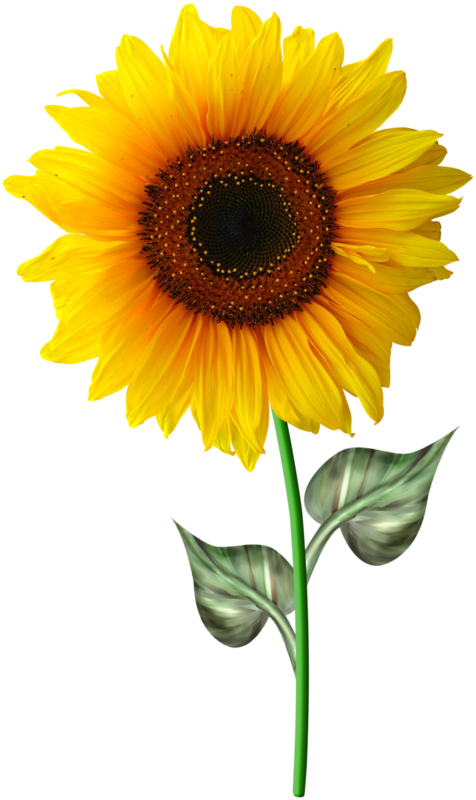 Fleurs flowers tournesol - Dessin de tournesol ...