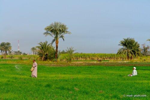 рис, египет