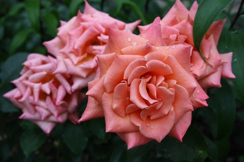 Роза Энн Хендерсон, флорибунда (Ann Henderson)Fryer 2004