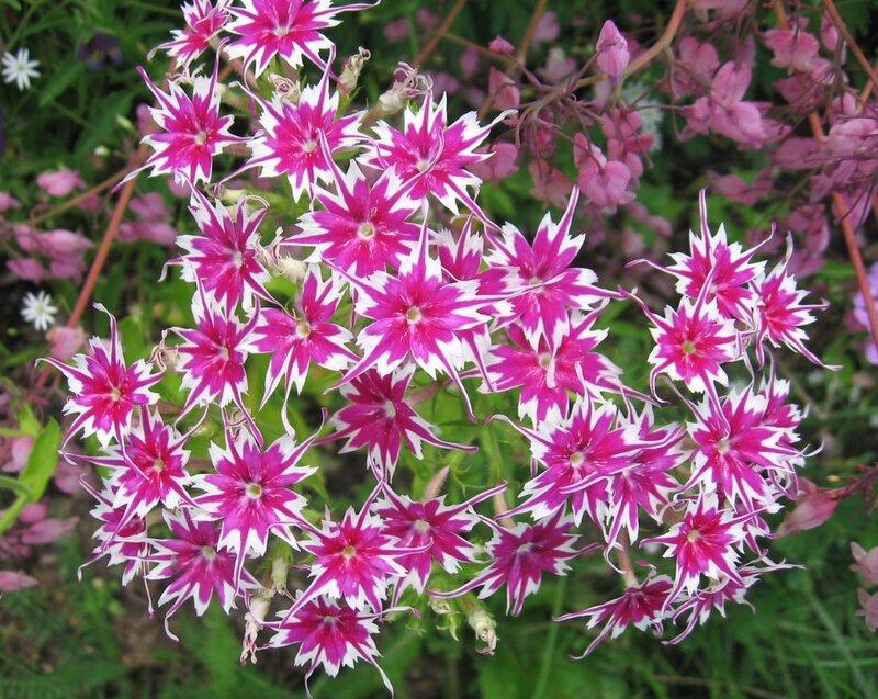 цветы флоксы